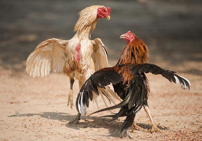 cách xem lối đá của gà