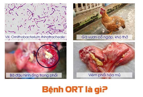 bệnh ort trên gà