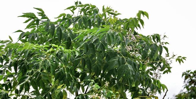 Lá cây sầu đâu trị mạt gà