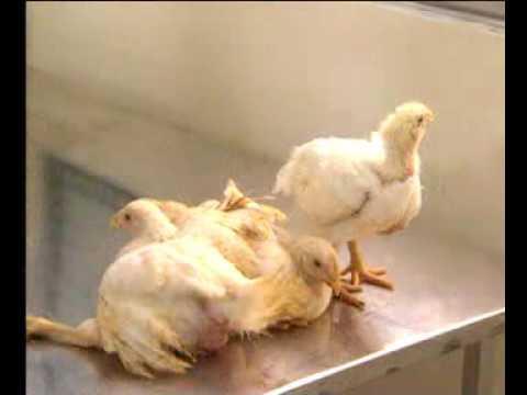 Bệnh Gumboro trên gà