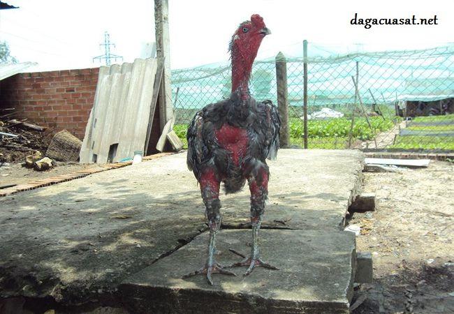 chăm sóc gà thay lông