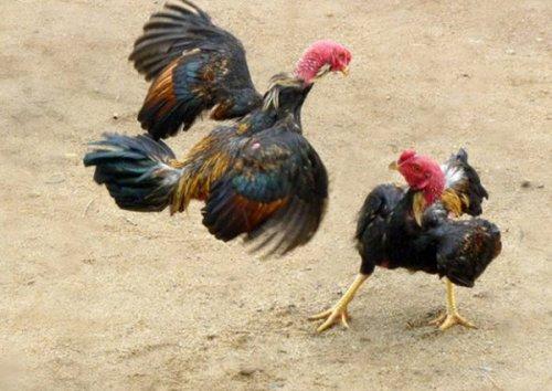 Đòn gà hồi mã hương