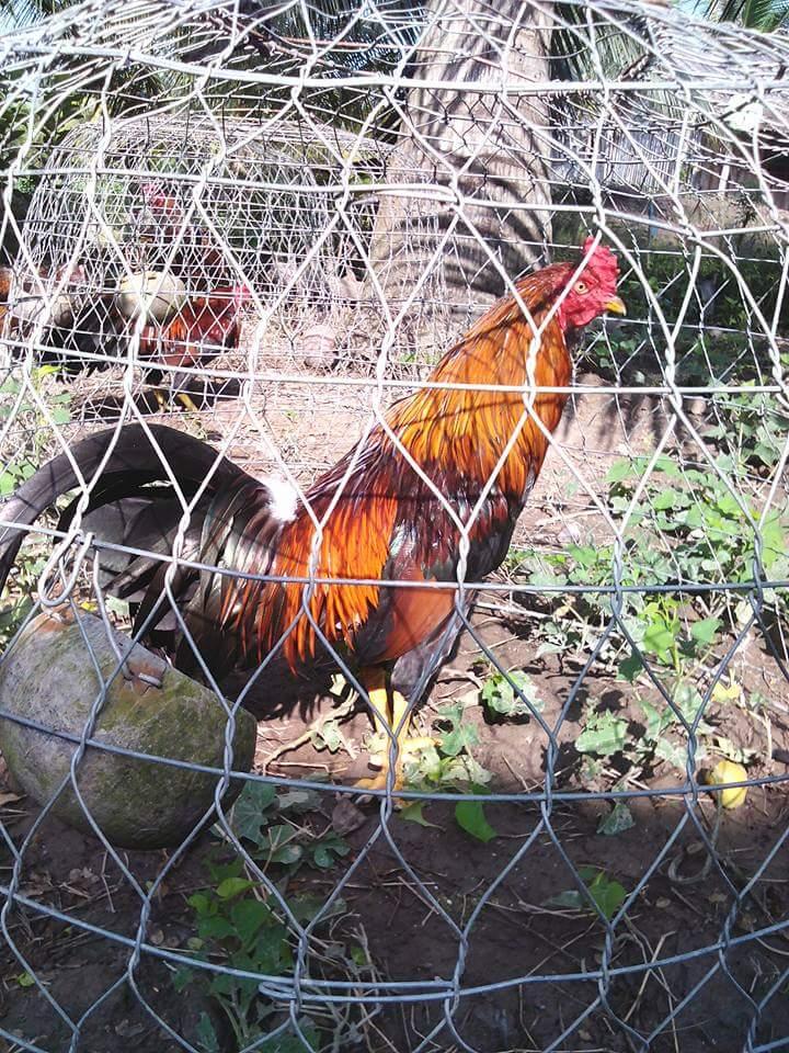 Phương pháp tắm nắng cho gà chọi